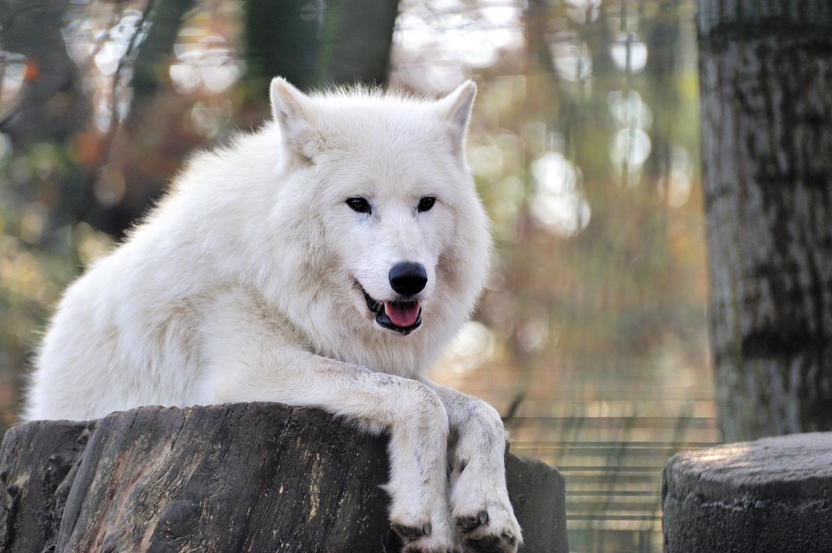 Schwarzer Wolf Mit Roten Augen : mit den augen der w lfe mmff kapitel 1 miyoko ~ Somuchworld.com Haus und Dekorationen