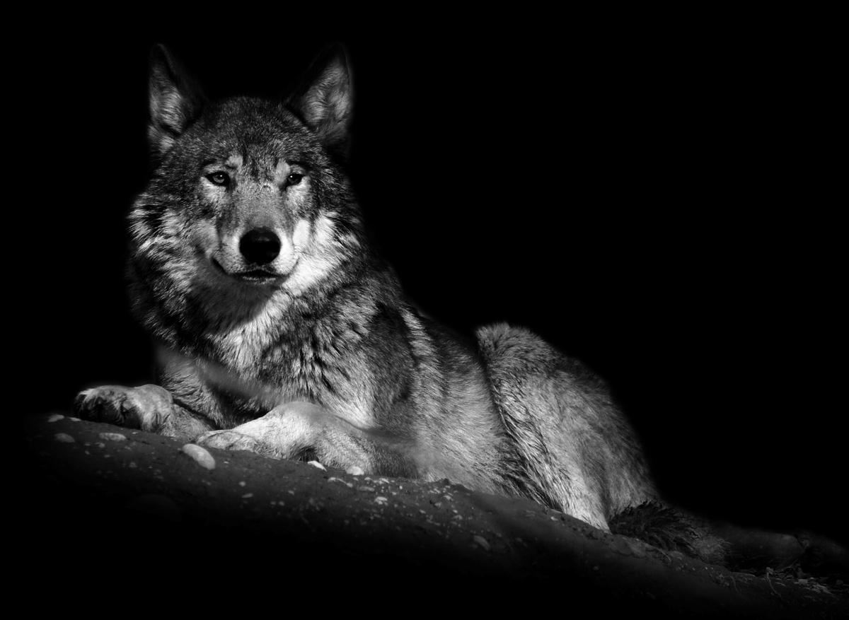Image result for black and white wolf